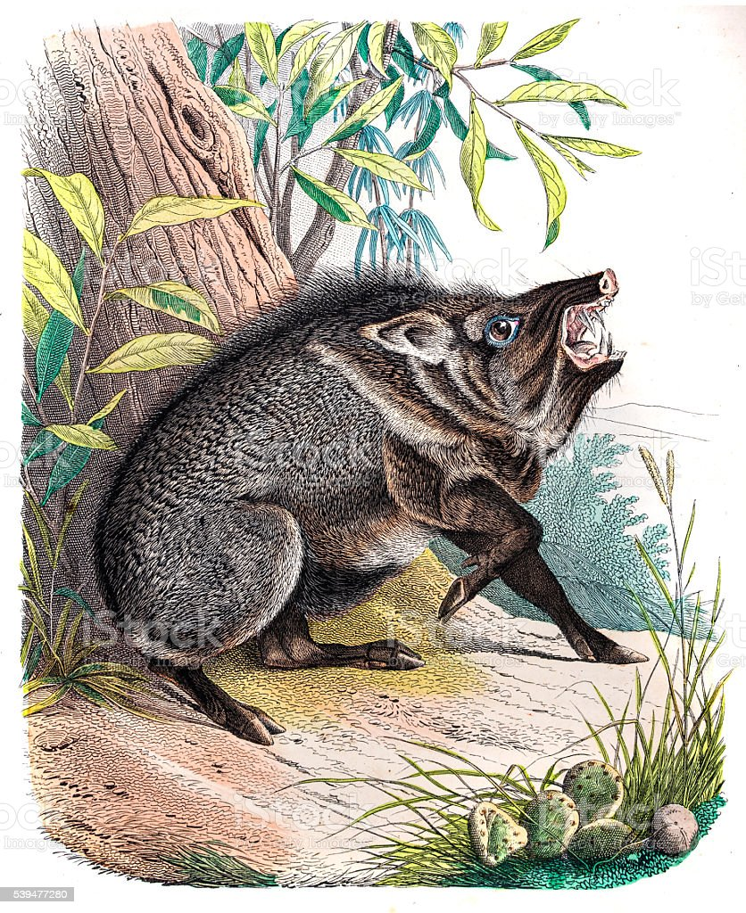 The Peccary engraving 1853 vector art illustration