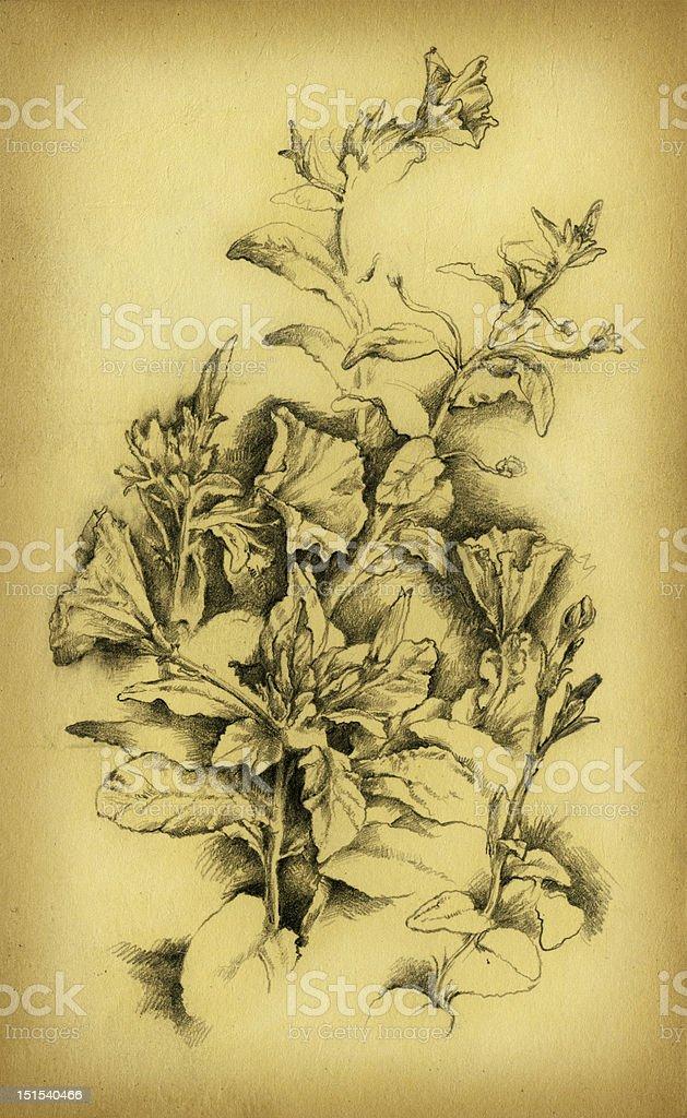 The petunia royalty-free stock vector art