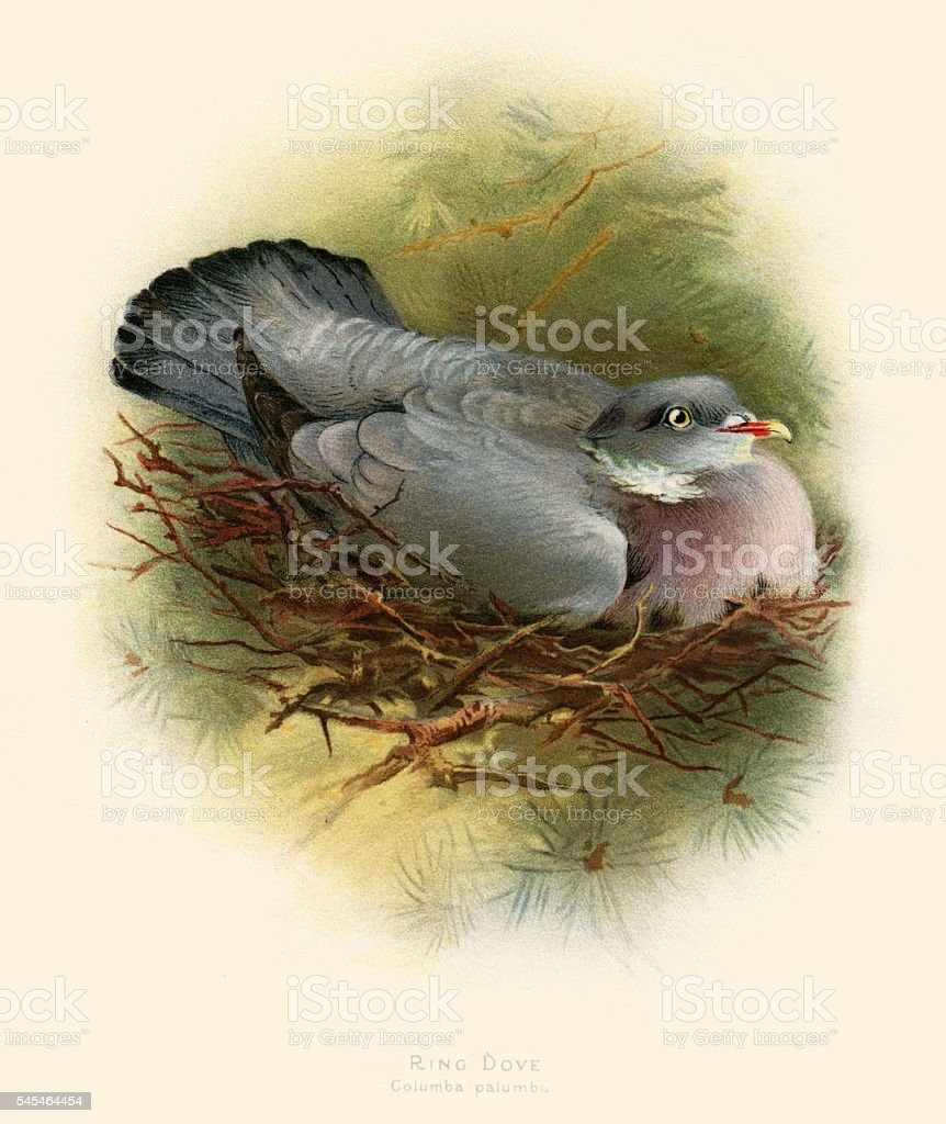 The ring pigeon illustration 1900 vector art illustration