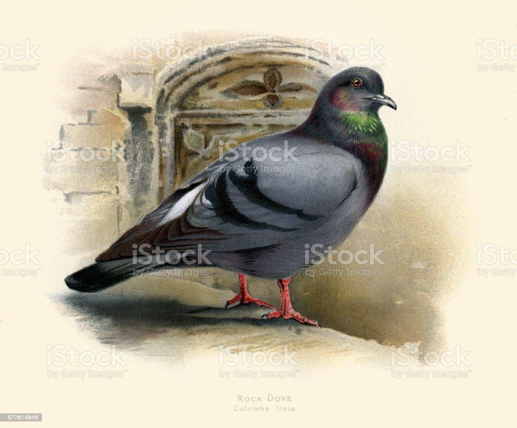 The rock dove illustration 1900 vector art illustration