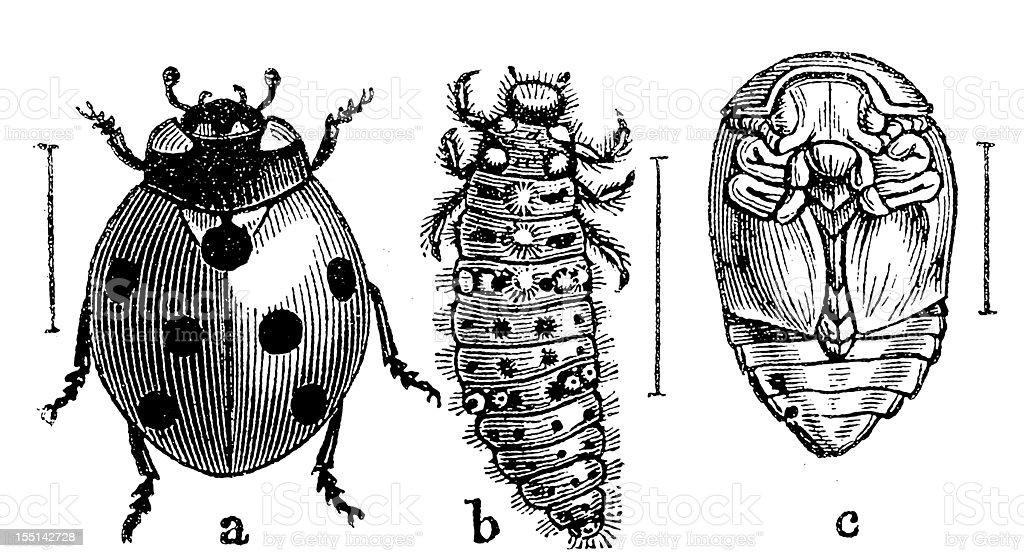 The Seven-spot Ladybird (Coccinella Septempunctata) vector art illustration
