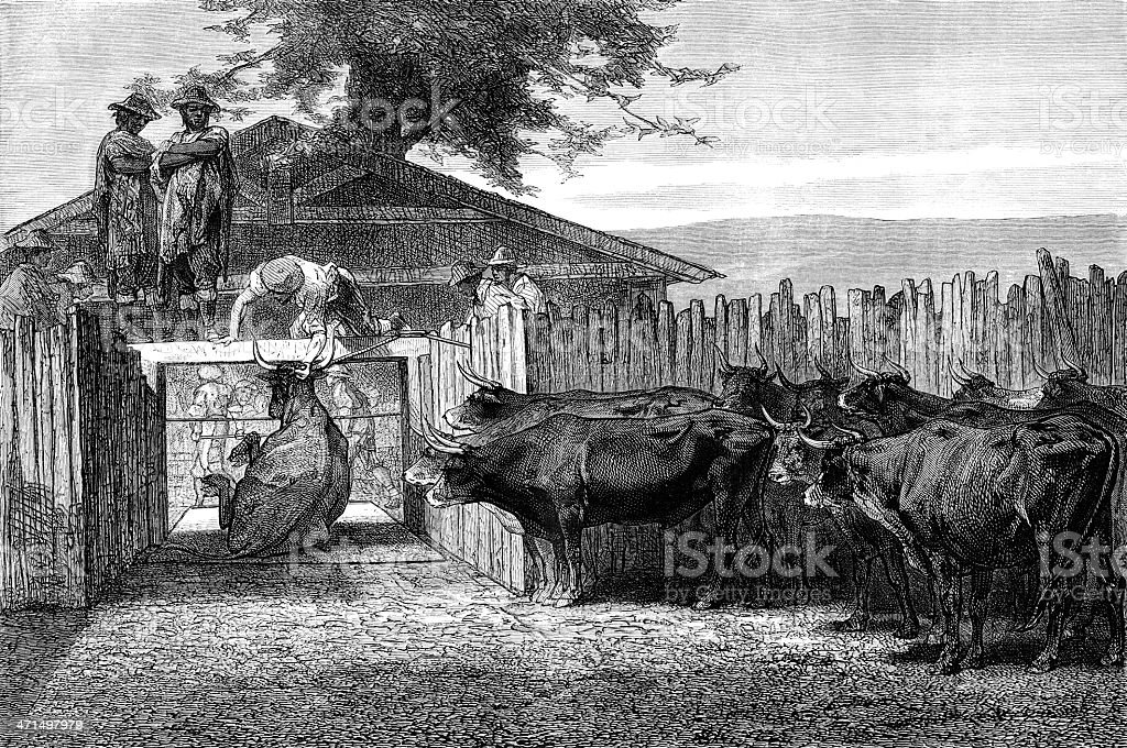 the `slaughter cattle royalty-free stock vector art