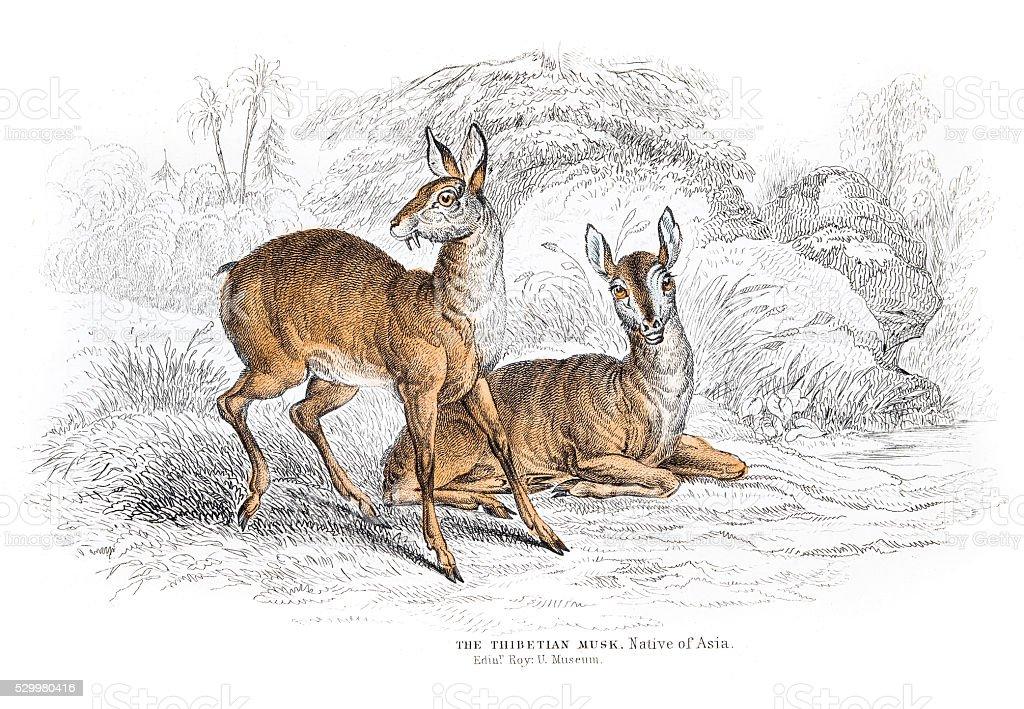 The Tibetan Deer engraving 1855 vector art illustration