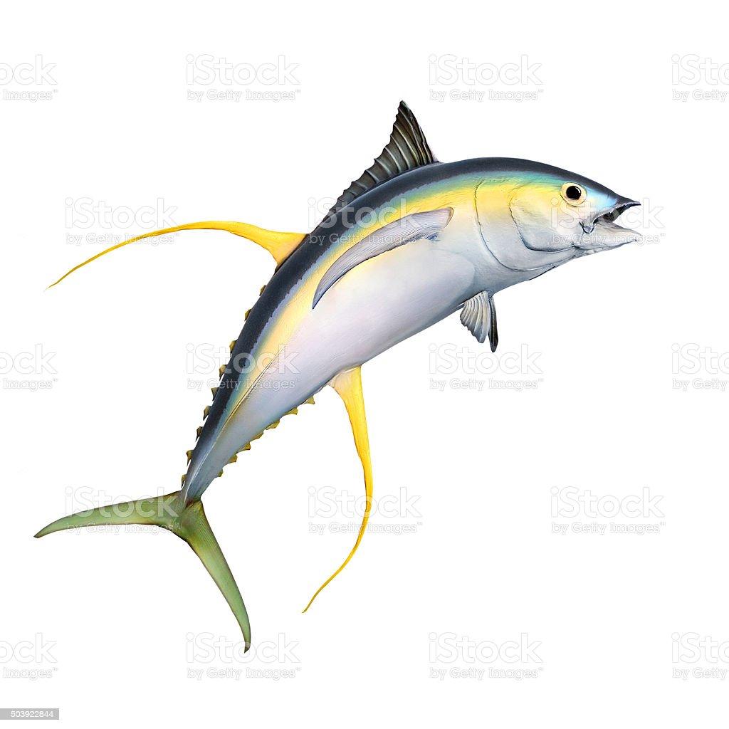 The Yellow Fin Tuna. vector art illustration