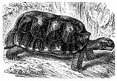 The yellow-footed tortoise (Chelonoidis denticulata)
