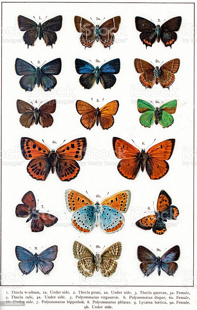 Thecla and Polyommatus butterflies vector art illustration