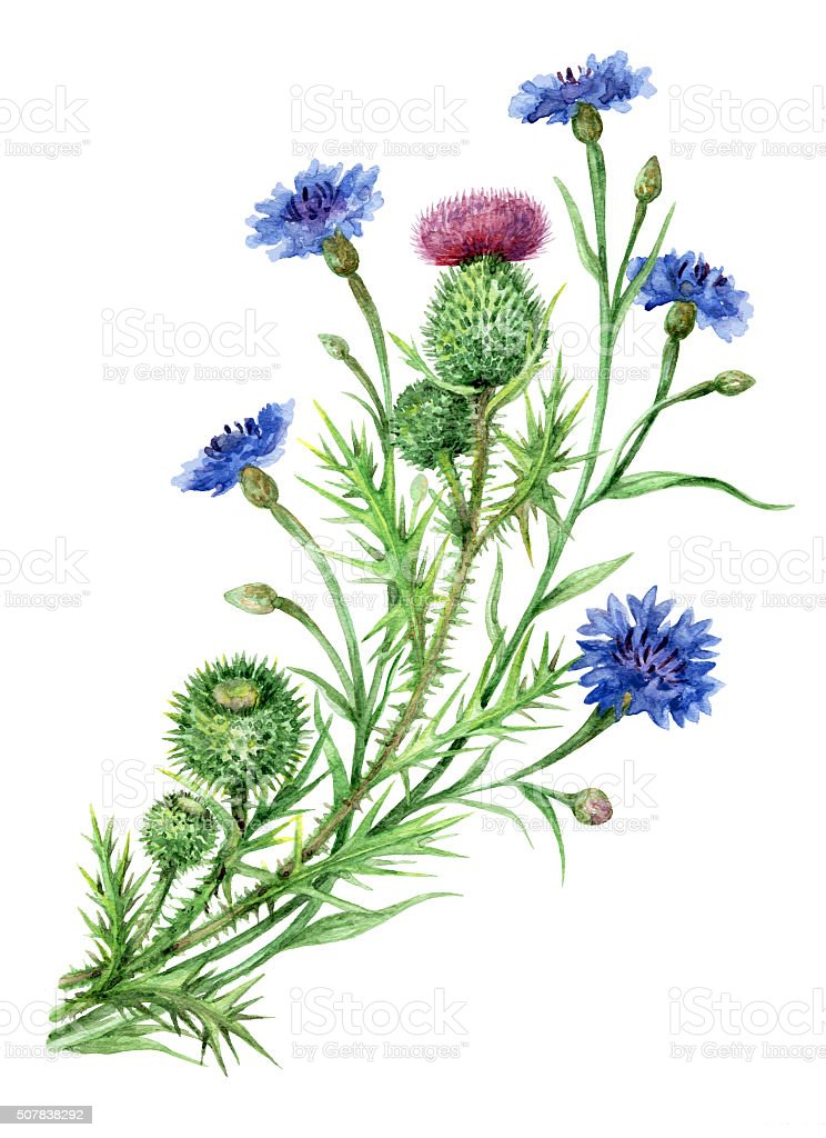 Thistle and cornflowers bunch. vector art illustration