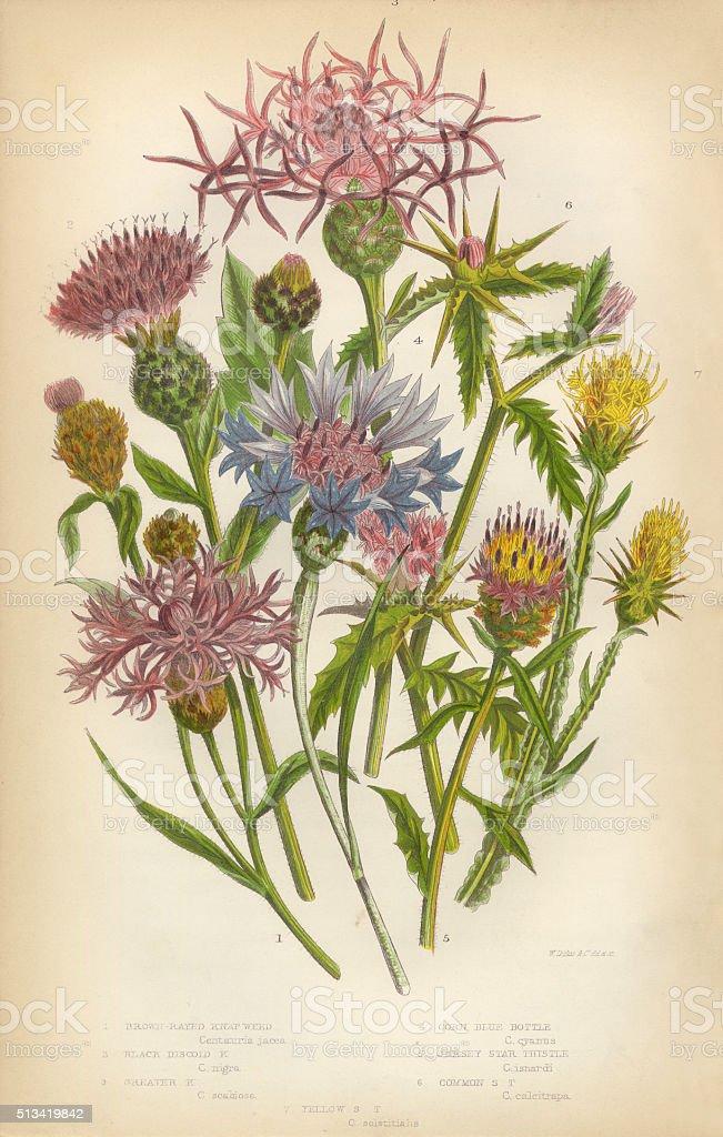 Thistle, Star Thistle, Knapweed, Blue Bottle, Victorian Botanical Illustration vector art illustration