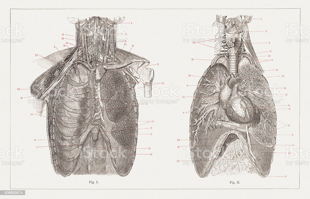 Thoracic cavity, wood engravings, published in 1882 vector art illustration