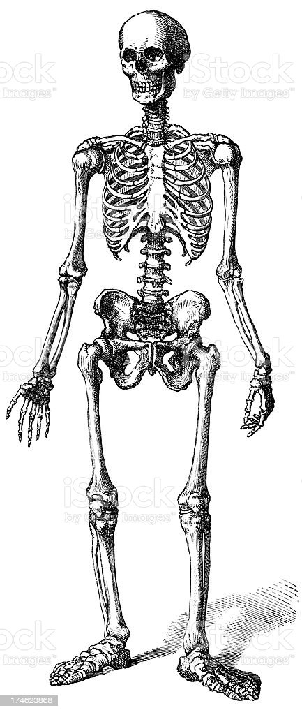 three dimensional sketch of a human skeleton stock vector art, Skeleton