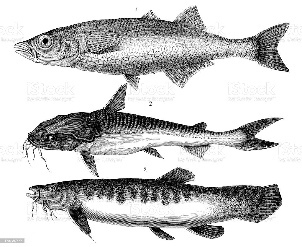 Three fishes from the Titicaca Lake vector art illustration