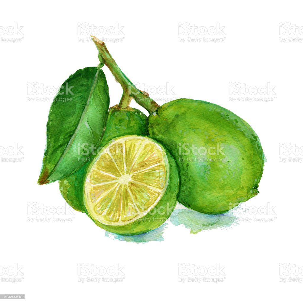 three lime on a branch. isolated. Watercolor vector art illustration