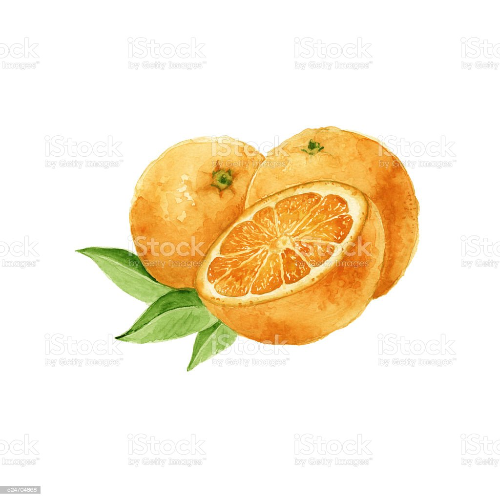 three oranges. isolated. watercolor vector art illustration