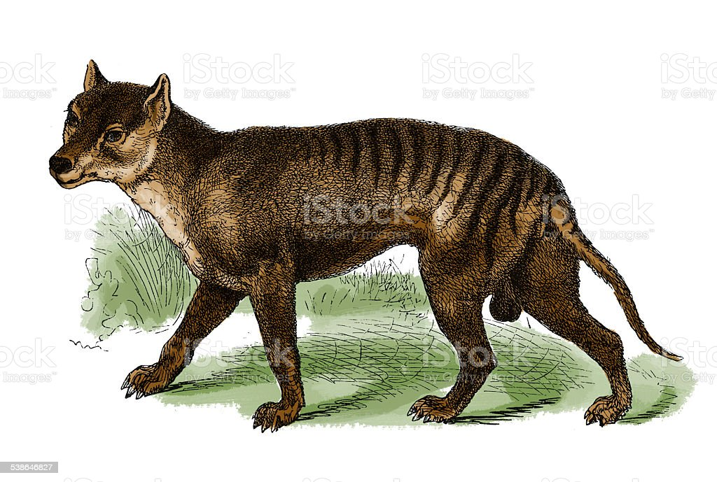 Thylacine or Tasmanian tiger (antique engraving) vector art illustration