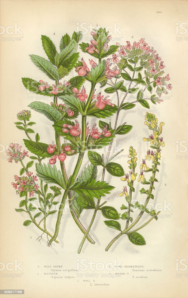 Thyme, Majorum, Oregano, Germander, Teucrium, Victorian Botanical Illustration vector art illustration
