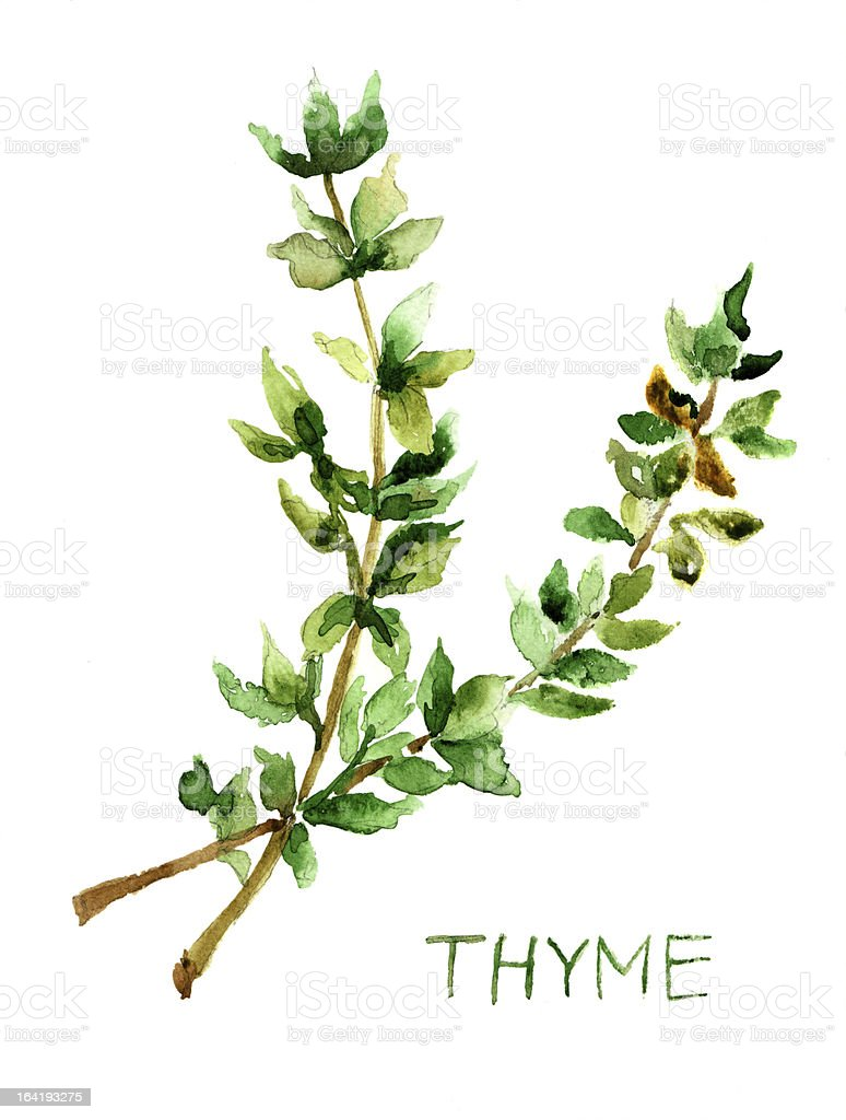 Thyme, watercolor illustration vector art illustration