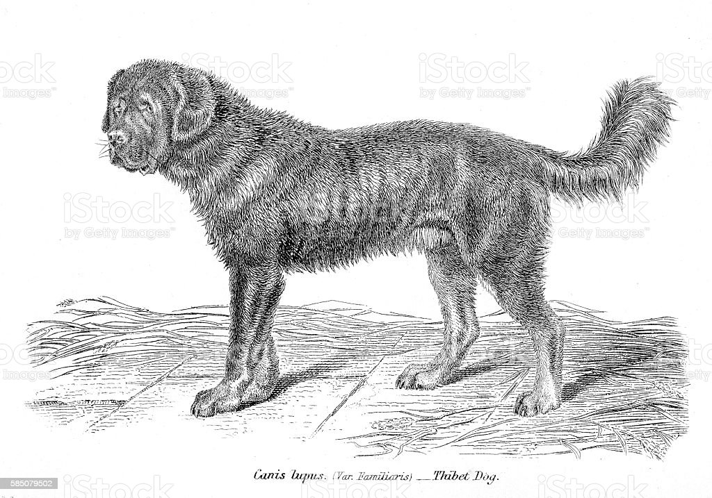 Tibetan Mastiff engraving 1803 vector art illustration