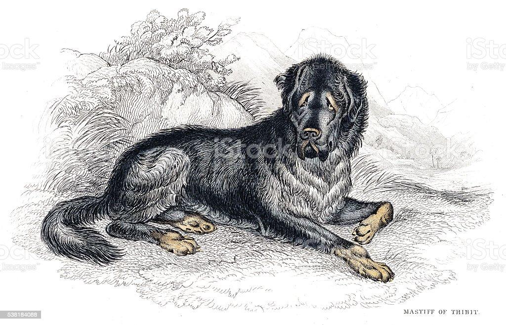 Tibetan Mastiff engraving 1840 vector art illustration