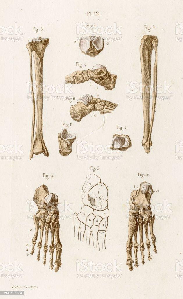Tibia anatomy engraving 1886 vector art illustration