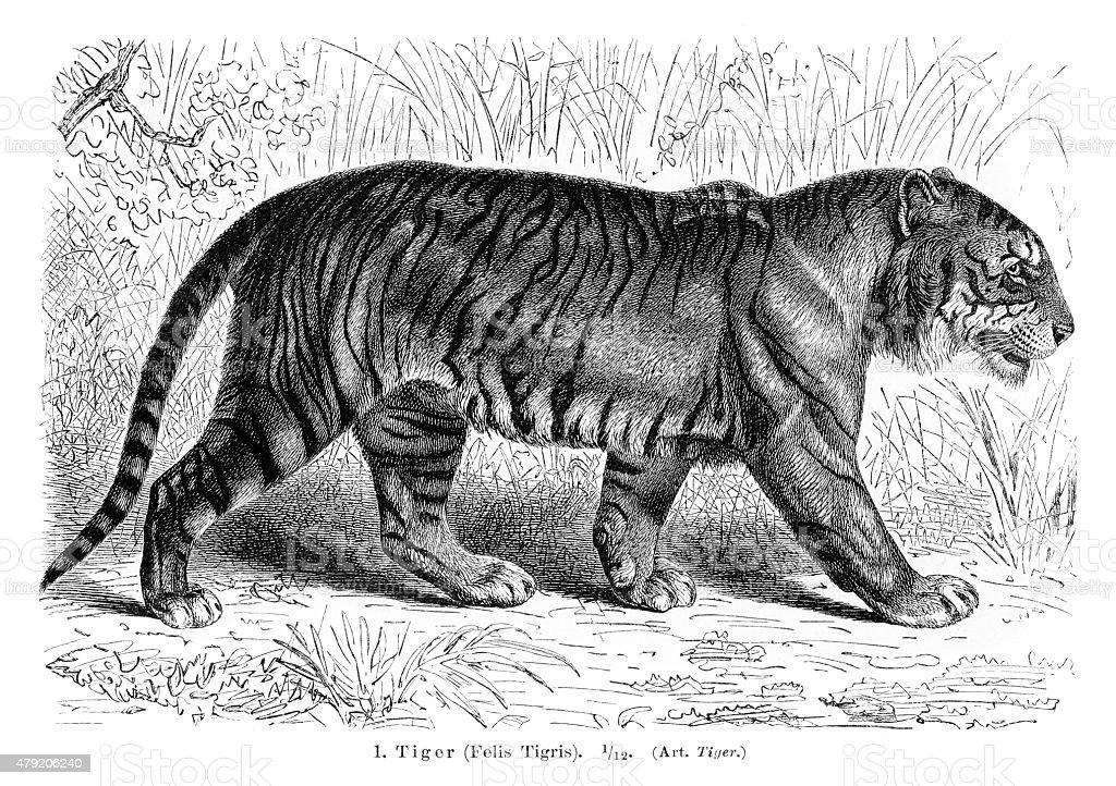 Tiger engraving 1896 vector art illustration