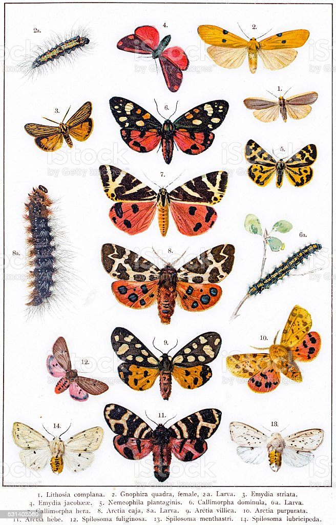 Tiger moth and other butterflies vector art illustration