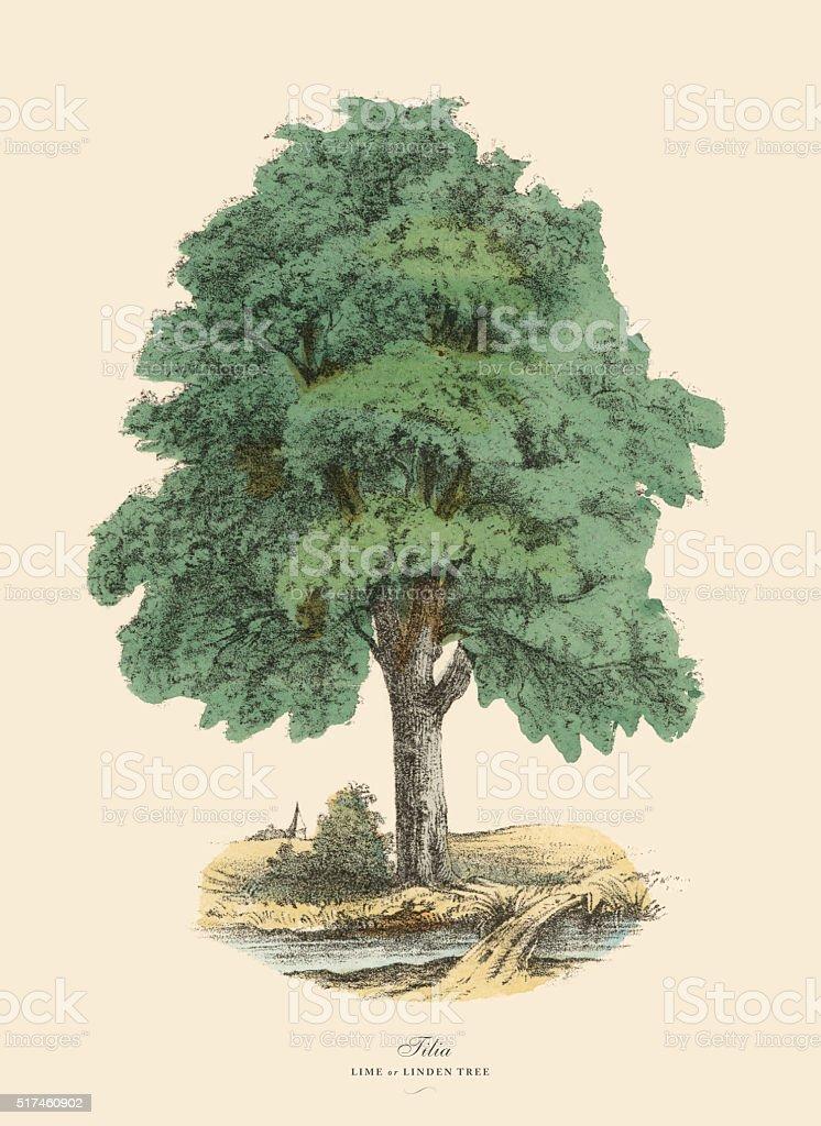 Tilia Tree or Lime and Linden, Victorian Botanical Illustration vector art illustration