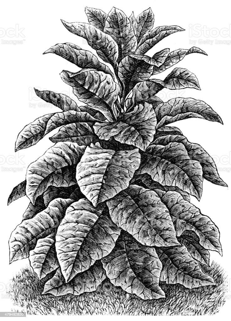 tobacco vector art illustration