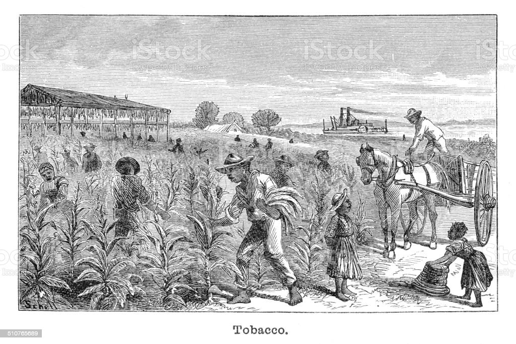 Tobacco plantation engraving illustration vector art illustration