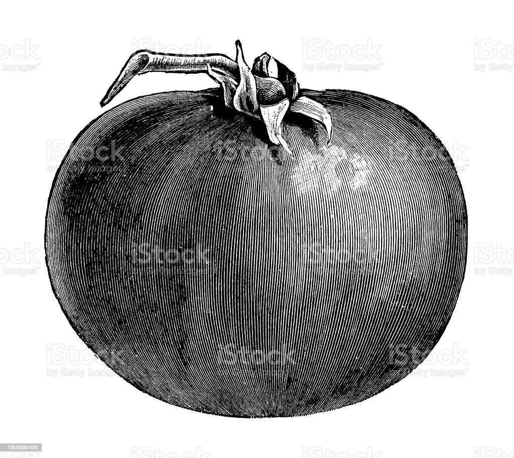 Tomato Illustration | Vintage Garden Vegetable Clipart royalty-free stock vector art