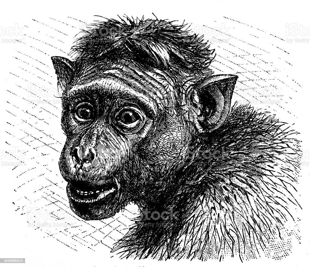 Toque macaque (Macaca sinica) vector art illustration