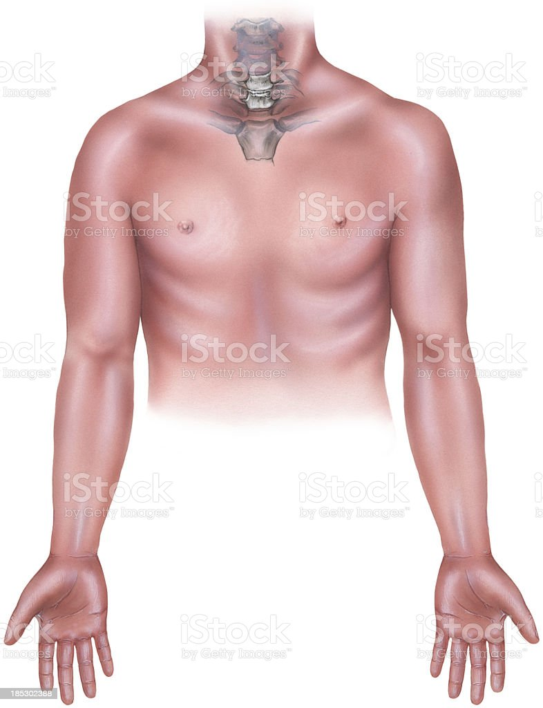 Torso - Male with Cervicle Neck Bones, Manubrium & Clavicle vector art illustration