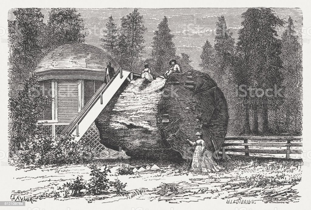 Tourists on a Redwood, California, USA, wood engraving, published 1880 vector art illustration
