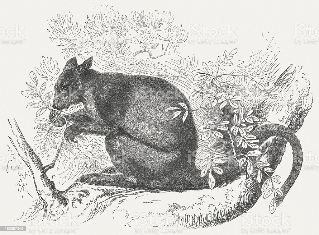 Tree Kangaroo (Dendrolagus), wood engraving, published in 1875 royalty-free stock vector art