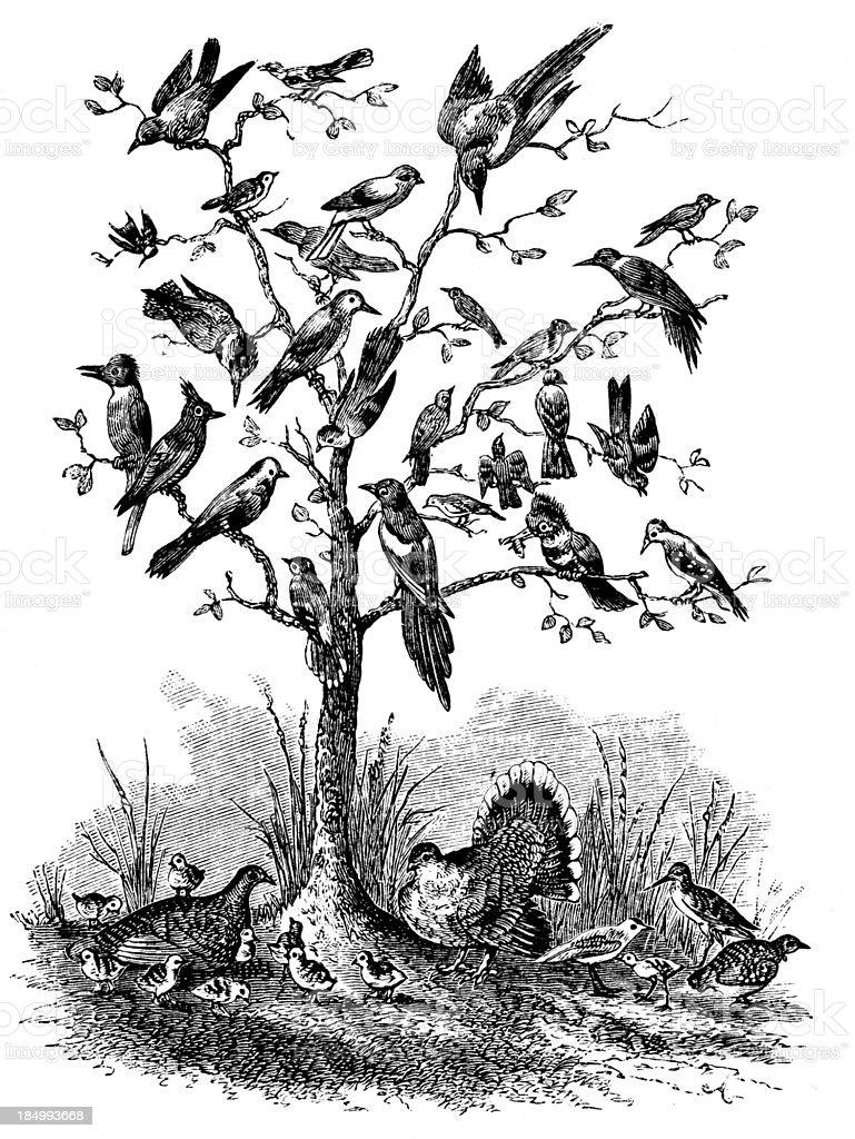 Tree of Birds - Victorian Engraving royalty-free stock vector art