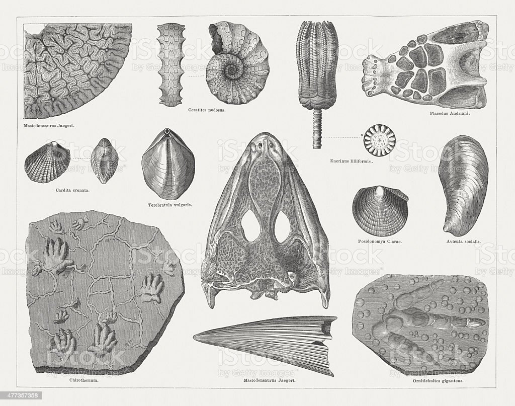Triassic fossils, wood engravings, published in 1877 vector art illustration