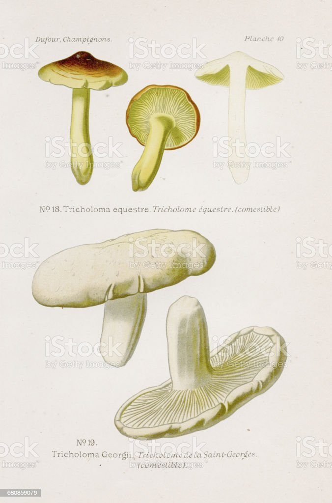 Tricholoma equestre mushroom 1891 vector art illustration