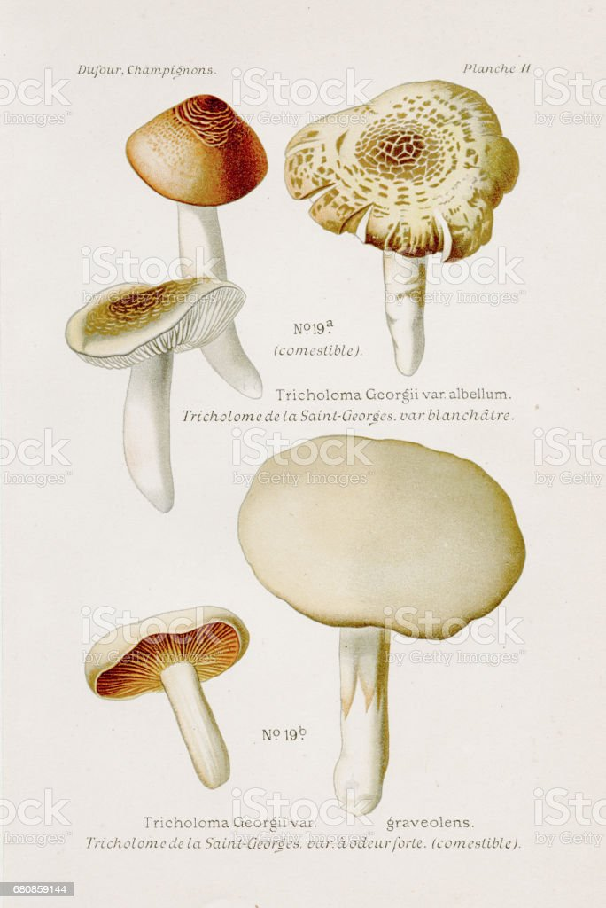 Tricholoma mushroom 1891 vector art illustration