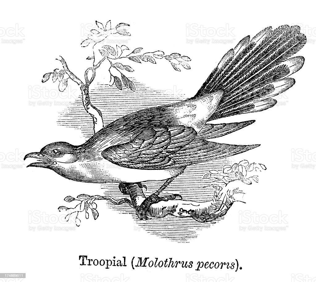 Troopial royalty-free stock vector art