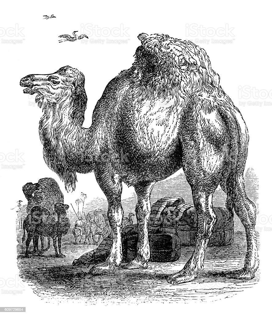 Tuareg dromedary - Arabian camel - 19th century engraving vector art illustration