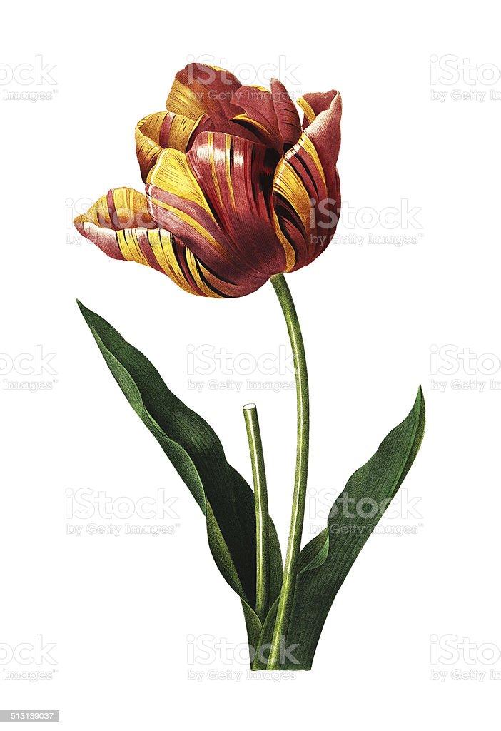 Tulip   Redoute Flower Illustrations vector art illustration