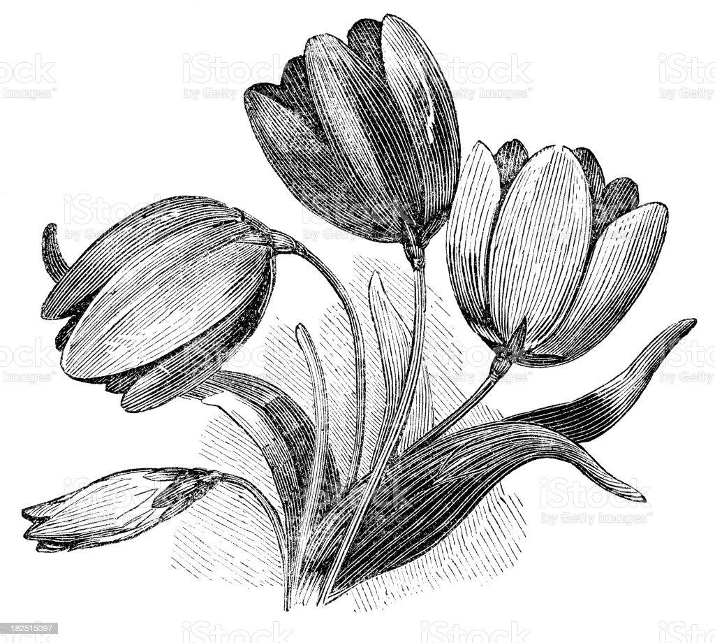 tulips engraving vector art illustration