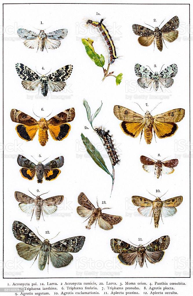 Turnip moth, Heart-and-dart Moth of Europe vector art illustration