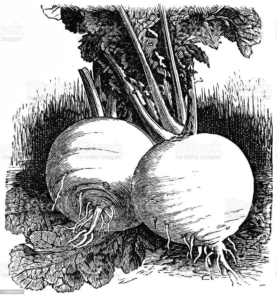 Turnip Snowball vector art illustration