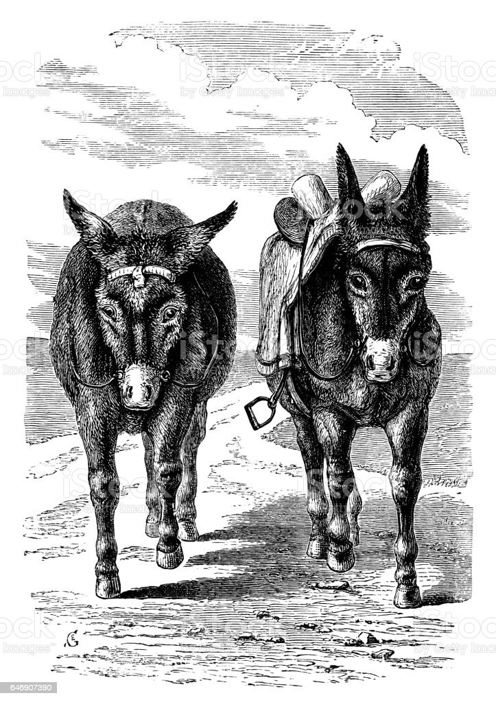Two donkeys approaching (Victorian engraving) vector art illustration