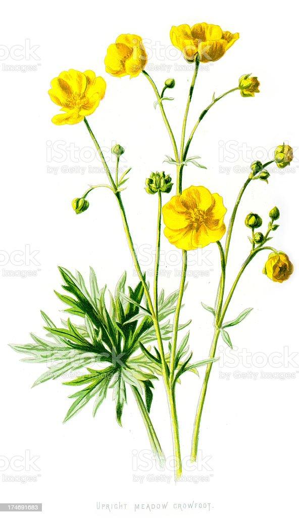 Upright Meadow Crowfoot - Ranunculus acris vector art illustration