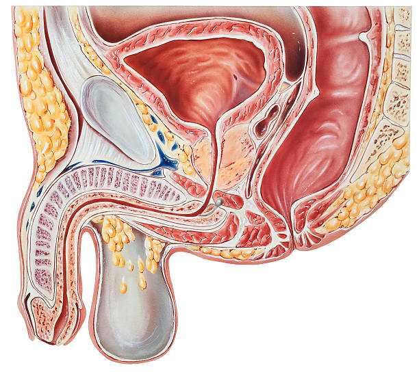 bulbourethral gland clip art, vector images & illustrations - istock, Human Body