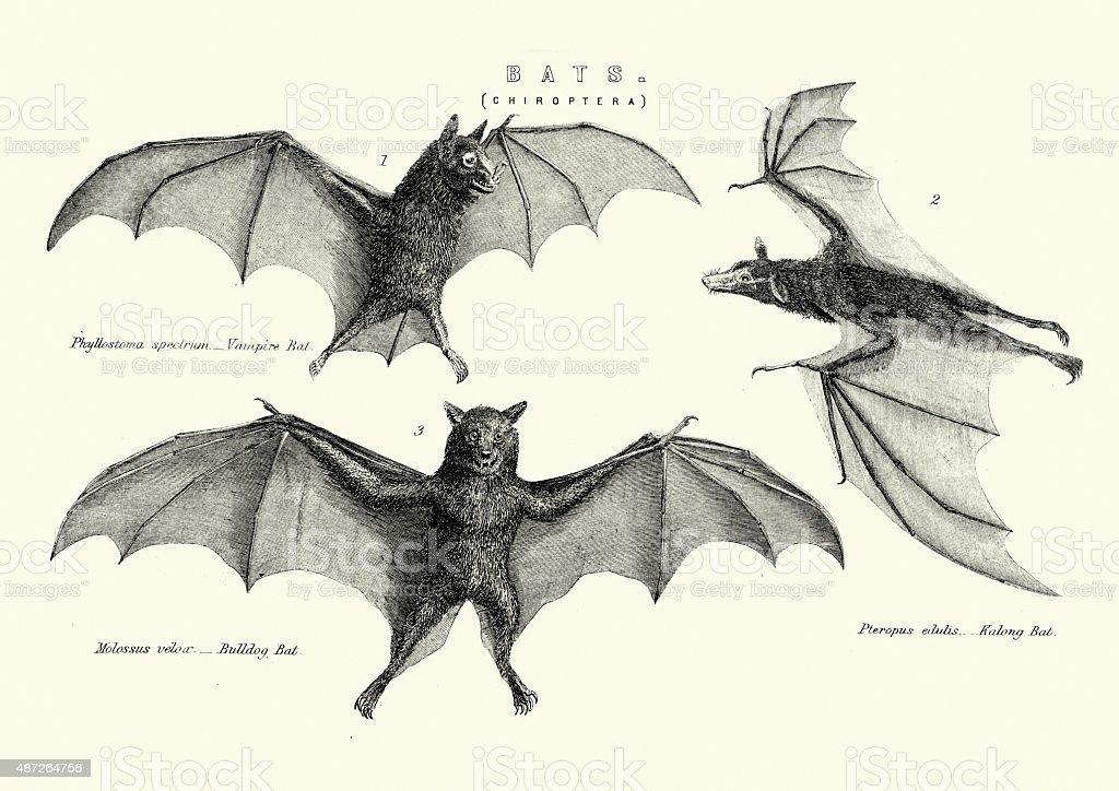 Vampie, Bulldog and Kalong Bats vector art illustration