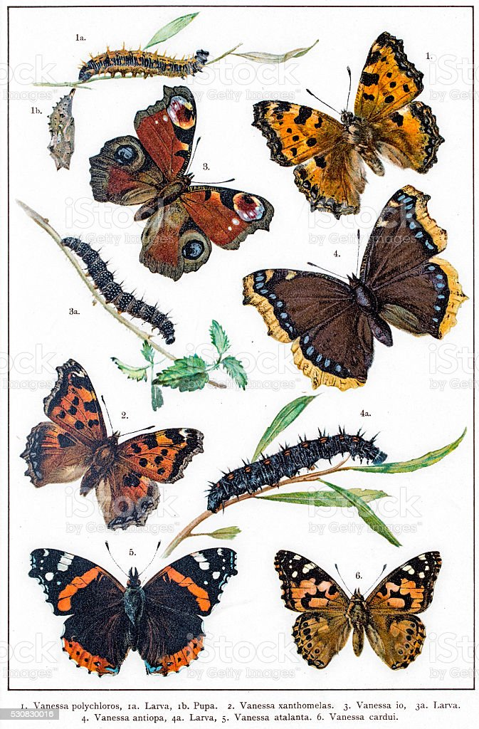 Vanessa butterflies and larva vector art illustration