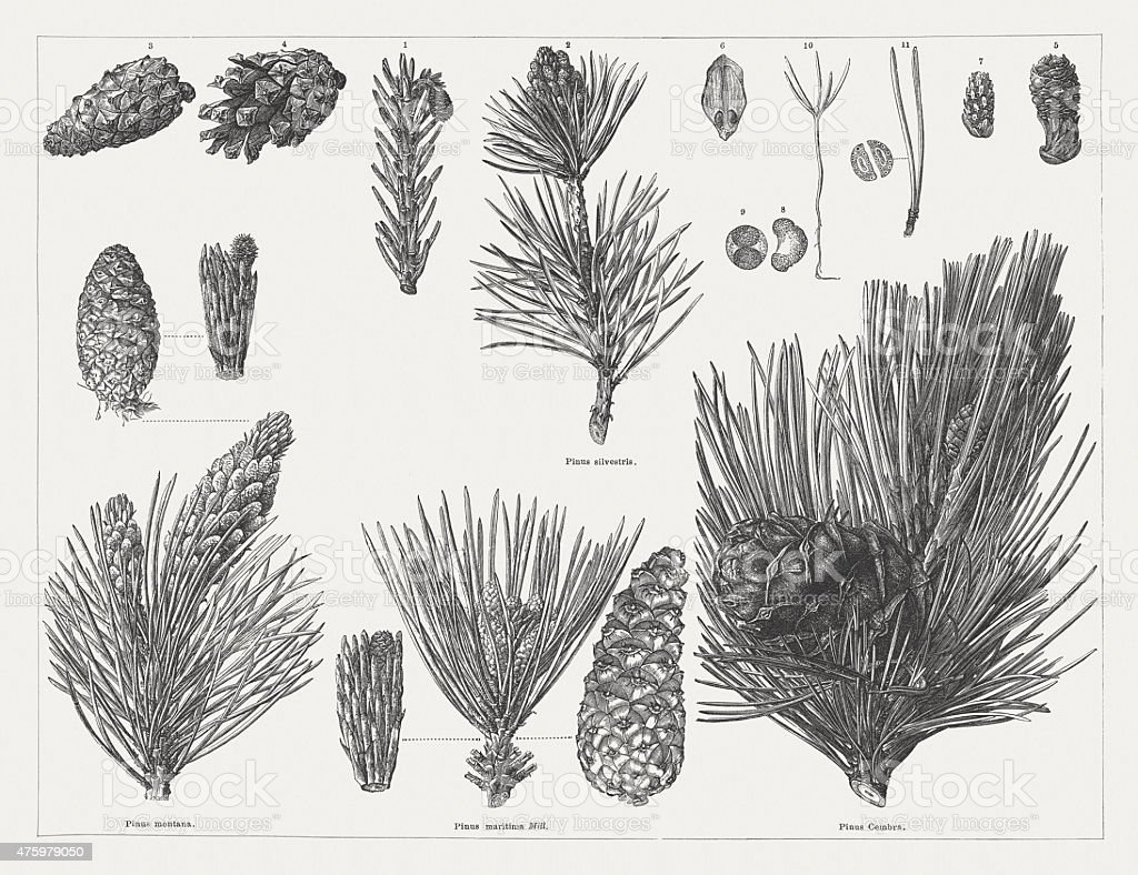 Various pine with cones, twigs and seeds, publ. 1876 vector art illustration