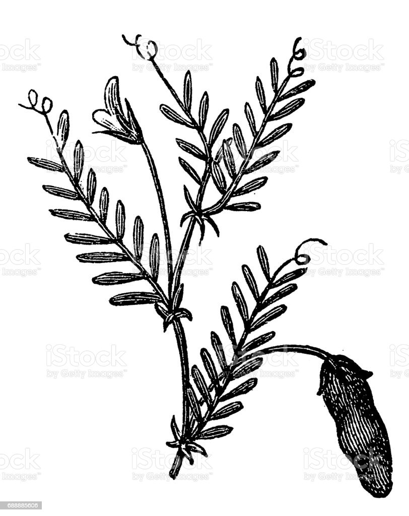 Vetch (Vicia sylvatica) vector art illustration